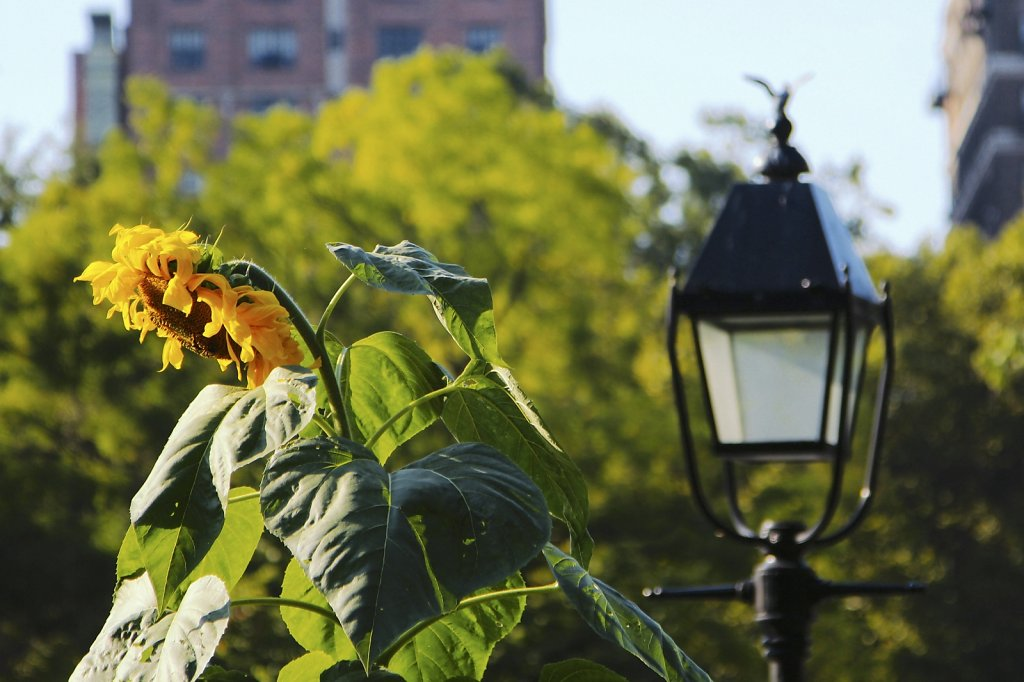 Sunflower in Washington Square Park